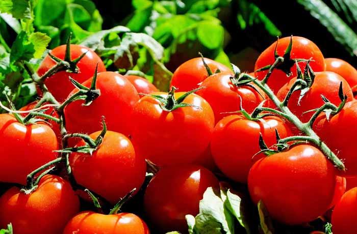 tomates en el calendario de siembra en la huerta en Febrero