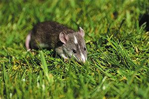 Los roedores Plagas debastadoras