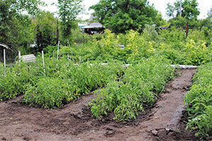 Labor del colgado al Plantar tomates en nuestro huerto