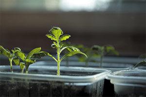 Trasplante, Plantar tomates en huerto