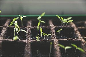 Semillero para plantar tomates