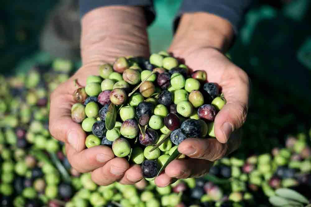 Abonado del olivo. Evita olivos pequeños y reconoce los síntomas de deficiencia.