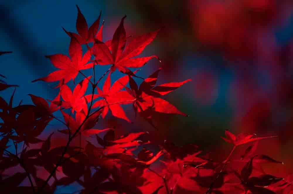 arboles en otoño arces rojos japoneses