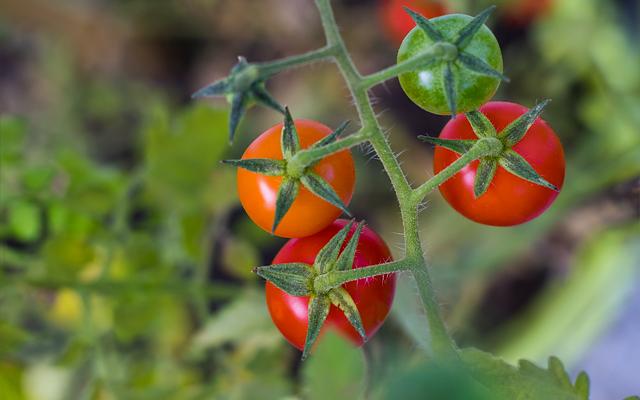 Como Plantar tomates en el huerto paso a paso