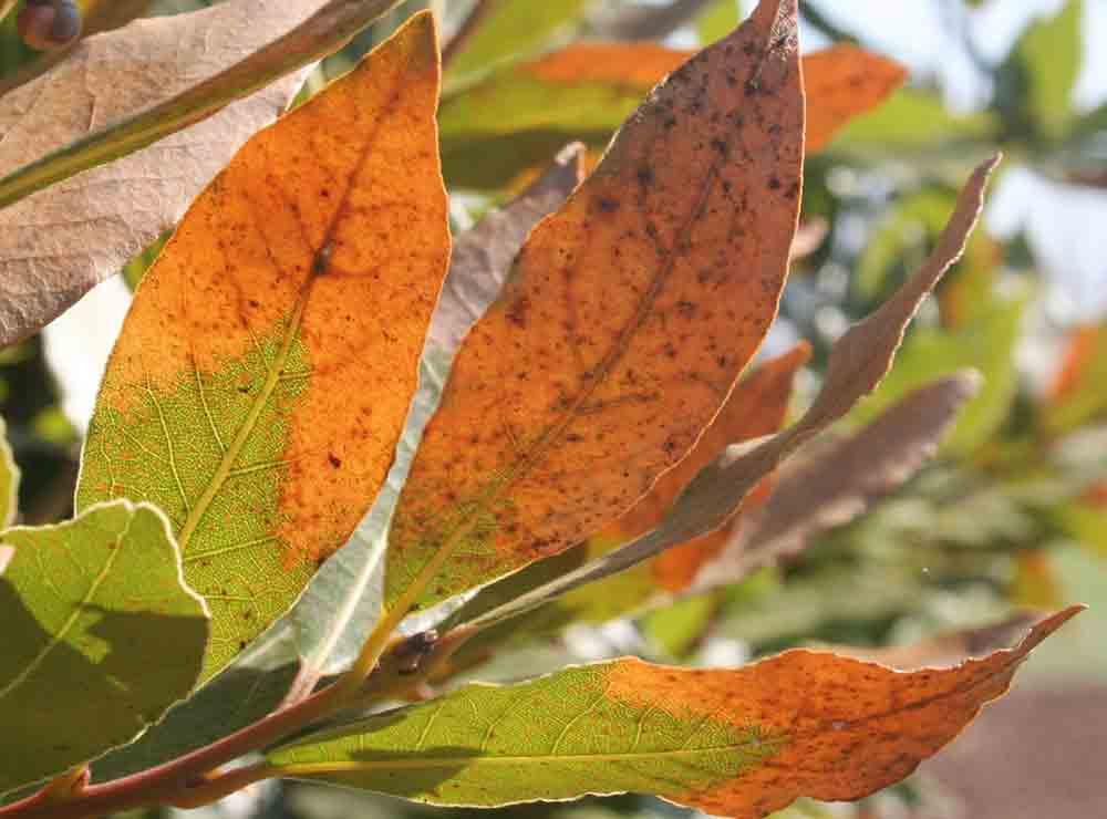 enferemedades del laurel en las hojas