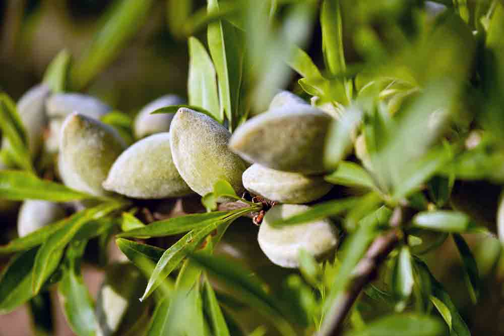 enfermedades del almendro en frutos y hojas