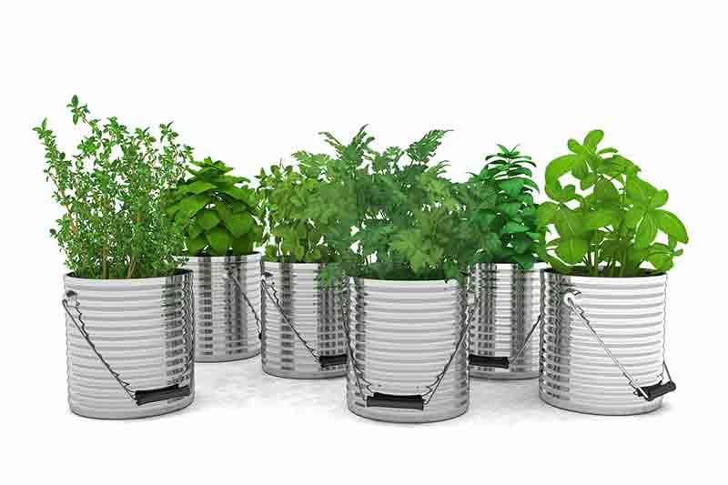plantas aromaticas