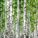 Abedul rentabilidad de las plantaciones