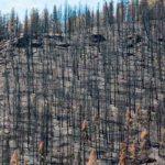 precio madera de pino quemada
