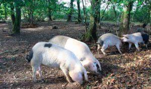 Porco celta en plantacion de robles
